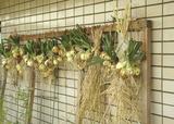 プランター栽培タマネギ2011.05.25