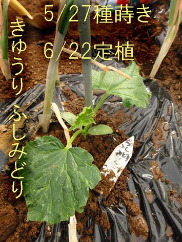 キュウリ定植2017.06.22