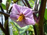 水なす開花2010.07.27.jpg