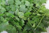 セリ収穫2013.11.03