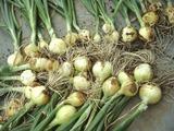タマネギ収穫する2011.05.25