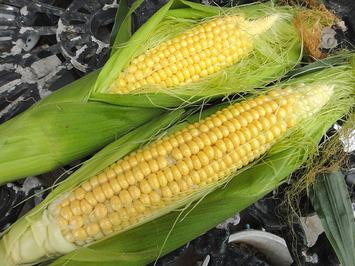 第4弾トウモロコシ収穫開始2017.08.04
