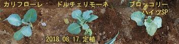 定植2018.08.17