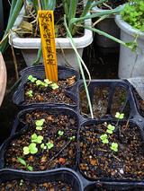寒咲菜花発芽10.29種蒔
