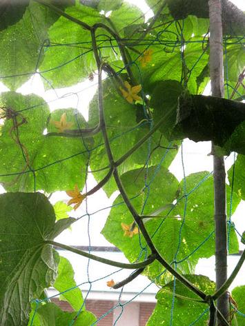 緑のカーテン2015.06.09