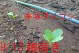 辛味ダイコン2013.09.18.