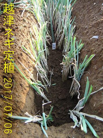 越津ネギ定植2弾2017.07.06
