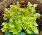 レタス2種2011.05.12