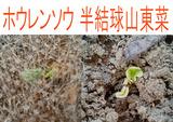 ホウレンソウ半結球山東菜2012.03.26