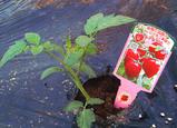 トマトベリー[ガーデン].jpg