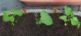トラ豆定植2010.08.22.jpg