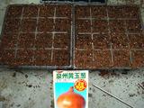 泉州黄玉葱種蒔き2012.09.25