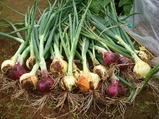 タマネギ初収穫08.05.22.jpg