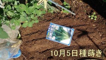 小松菜種蒔き2019.10.05