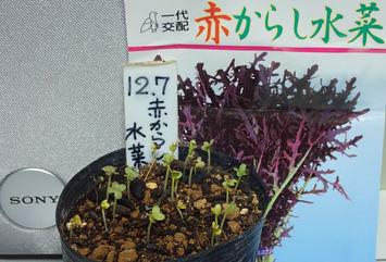 赤からし水菜2018.1209