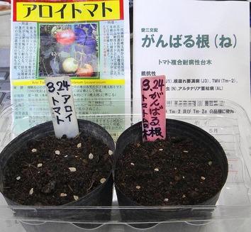 トマト台木2020.03.24