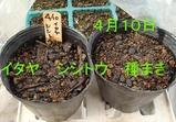 シシトウ2010.04.10.jpg