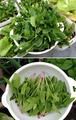 ななちゃんホウレンソウ収穫2013.04.07