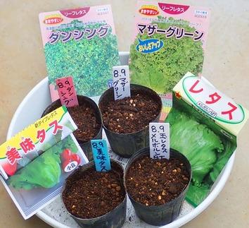 レタス種蒔き2018.0809
