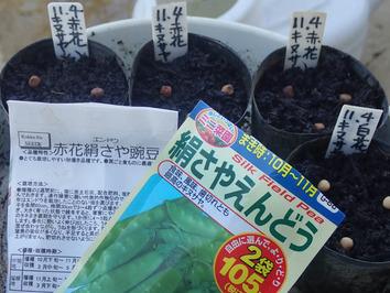 キヌサヤ種蒔き2019.11.04
