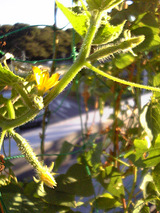 10月キュウリバルコニー菜園