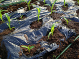 トウモロコシ定植2013.04.23