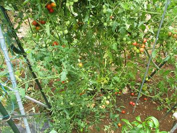 台風トマト2014.08.11.jpg