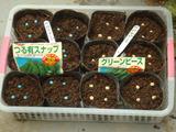 種蒔きグリーンピース スナップエンドウ2012.10.25
