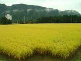 コシヒカリ2011.09.24