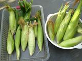 pプランター栽培トウモロコシ2013.07.16