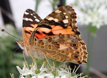 蝶々020.09.21