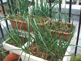 タマネギ2010.04.05.jpg