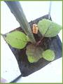 大長ナス定植2011.05.20
