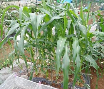 秋採りトウモロコシ2018.09.19