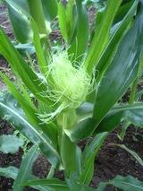 トウモロコシ06.07.25.雌花