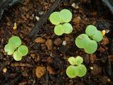 白菜が発芽2012.08.28