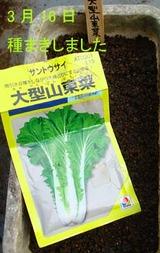 大型山東菜2010.03.16.jpg