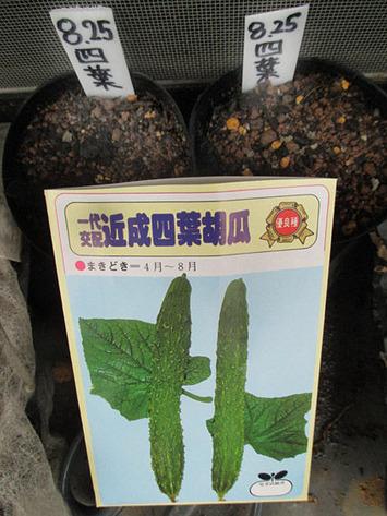 四葉キュウリ種蒔き2015.08.25