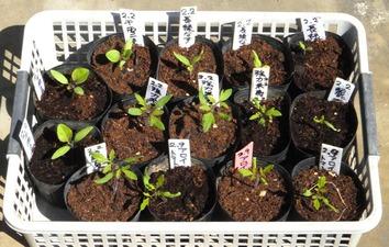 夏野菜苗2020.03.19