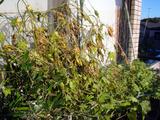 緑のカーテン2012.09.30
