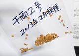 千両2号自家採種2013.12.22