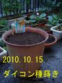 ダイコン種蒔き2010.10.15