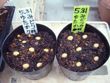 エダマメ種蒔き2020.05.31
