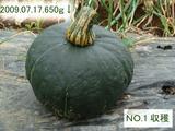 カボチャ収穫NO.1-09.07.17.jpg