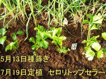 セロリ定植2020.07.19