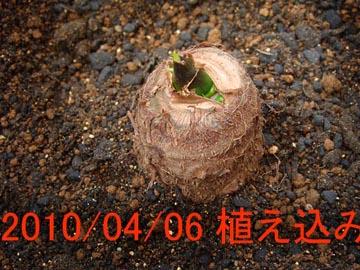 サトイモ2010.04.06.-2.jpg