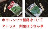 ホウレンソウ種蒔き2010.11.17.