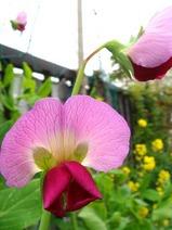 赤花キヌサヤ2010.04.09.jpg
