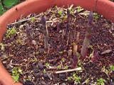 鉢植えアスパラガス3.30