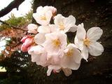 さくら2010.03.28.jpg